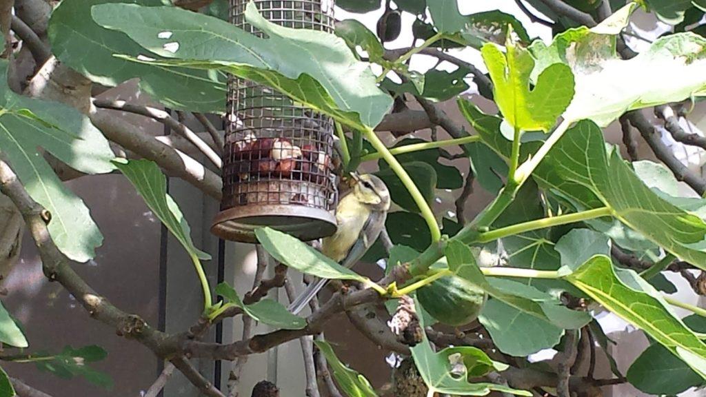 vogelvoer hangend aan de vijgenboom