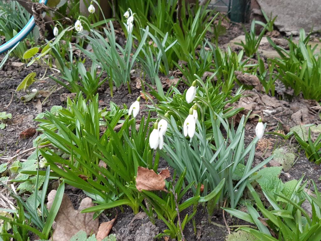 Sneeuwklokjes in bloei