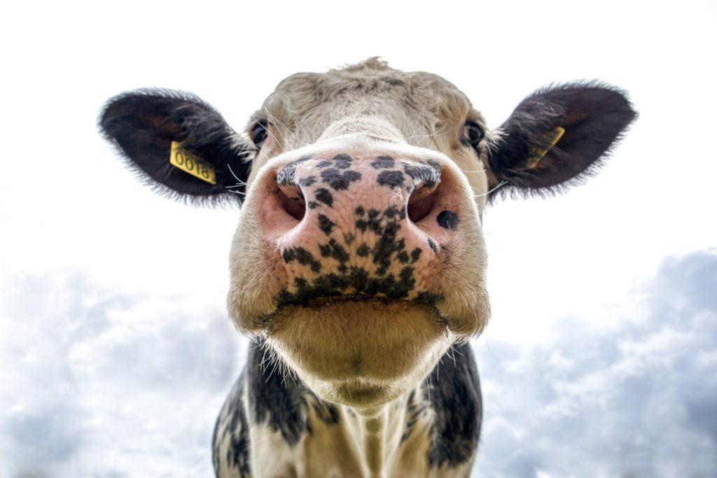 een close-up van een koe