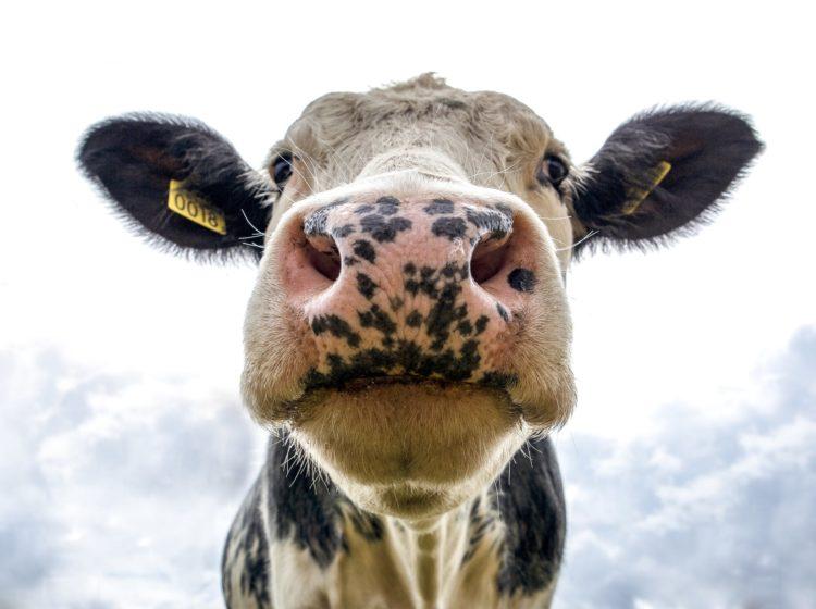 de koe denkt er het hare van